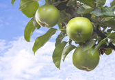 A tree branch with green apples against a blue sky — Stock Photo