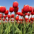 Red tulips — Stock Photo #2716449