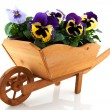 Wooden wheelbarrow with Pansies - Stock Photo