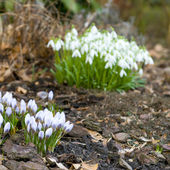 Crocus in the garden — Stock Photo