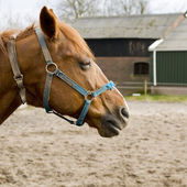 Brown horse with blue halter — Stock Photo