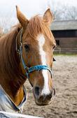 Porträtt av en brun häst — Stockfoto
