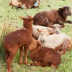 Sheep with lambs — Stock Photo #2784002