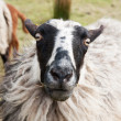 Head of a sheep — Stock Photo #2784009