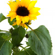Yellow sun flowers — Stock Photo #2784068