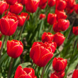 Red tulips - Stock Photo
