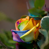 Exotic colored rose — Stock Photo