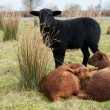 Black and brown sheep — Stock Photo