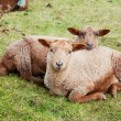 Brown lambs — Stock Photo