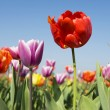 Colorful tulips outdoor in the fields — Stock Photo
