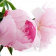 Common Peony — Stock Photo