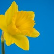 Yellow trumpet daffodil — Stock Photo