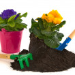 Stock Photo: Gardening with Primulas