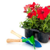 Red petunia — Stock Photo