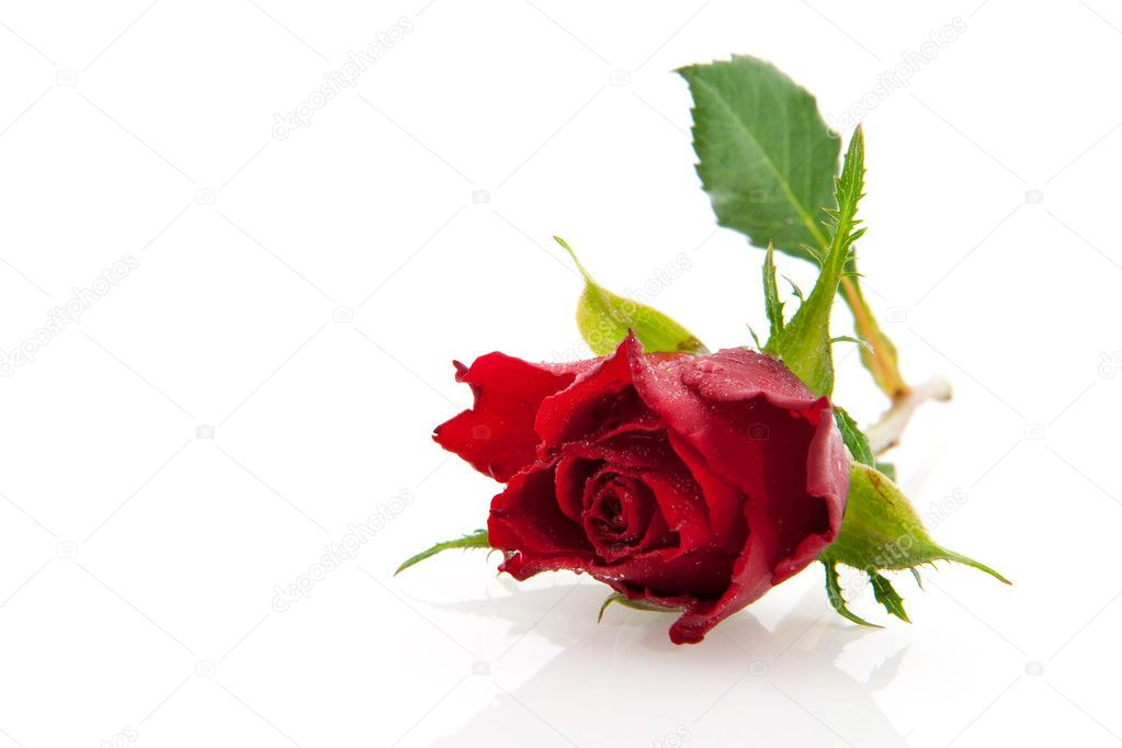 Red beautiful  rose isolated with white background — Stock Photo #2879984