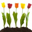 colorful tulips — Stock Photo #2880849