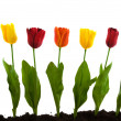 A row with colorful silk tulips — Stock Photo