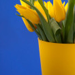 Yellow tulips on blue — Stock Photo #2881161