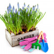 Garden crate with Muscari and tools — Stock Photo