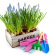 Garden crate with Muscari and tools — Stockfoto