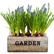 Garden crate with Muscari — Stock Photo