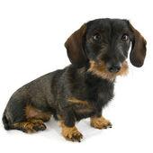Cute dachshund — Stock Photo