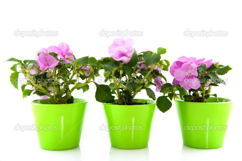 A row of pink Impatiens isolated over white — Stock Photo #2881053