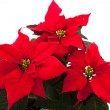Poinsettia - Stock Photo