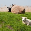 Stock Photo: Sheep on dike