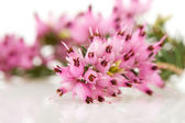 Macro of Heather flowers — Stock Photo