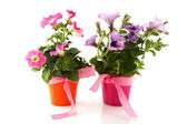 Petunia in colorful buckets with ribbon — Stock Photo