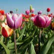Colorful tulips in Holland — Stock Photo #3082410