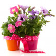 Petunia in colorful buckets as a gift — Stock Photo