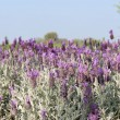 Lavender fields — Foto de Stock