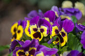 Violet Pansies — Foto Stock