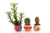 Prickly cactuses and succulent — Stock Photo