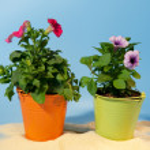Petunias for garden — Stock Photo