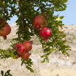Pomegranate tree — Stock Photo