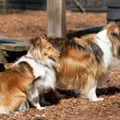 Sheltie dogs - Stock Photo