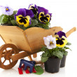 Violin flowers in wooden wheel barrow — Photo