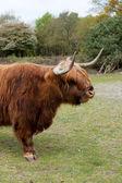 Scottisch highlander — Stock Photo