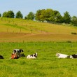 Cows in landscape - Stockfoto