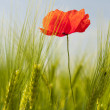 Red poppie in grain — Stock Photo