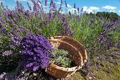 Picking Lavender — Stock Photo