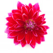 Stock Photo: Red cactus Dahlia