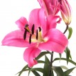 Pink Lily — Stock Photo #3824824