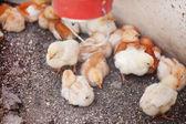 Little chicks — Stock Photo