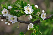 Cherry plum blossom — Stock Photo
