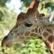 Giraffe head — Stock Photo #3268456