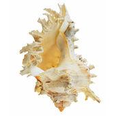 贝壳 — 图库照片